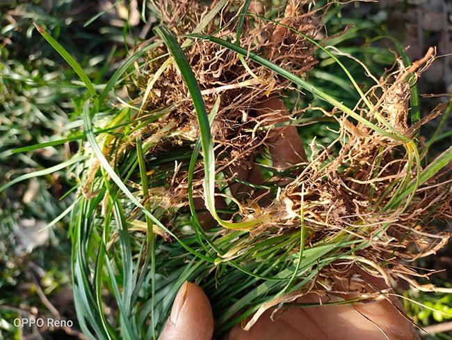 麦冬怎么种植?麦冬种植技术