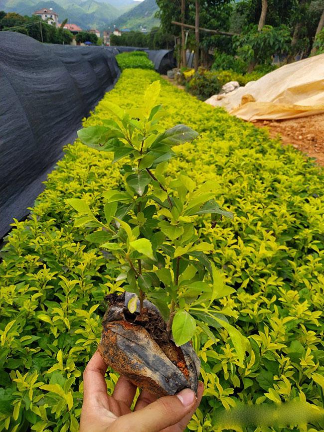 黄叶假连翘什么科?黄叶假连翘的园林用途