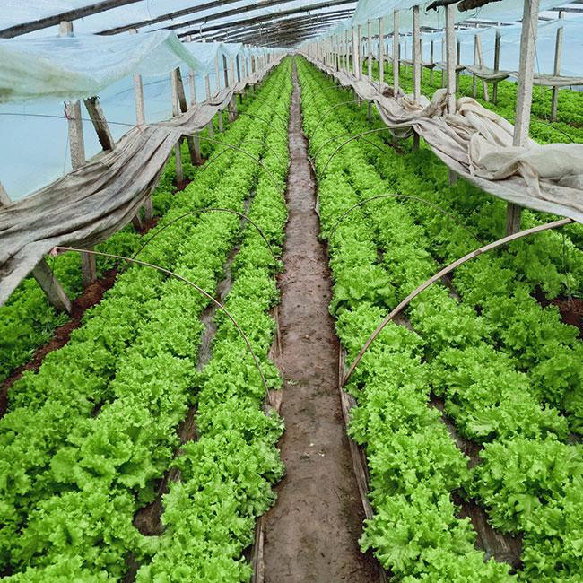 生菜怎么种植?生菜种植时间和方法