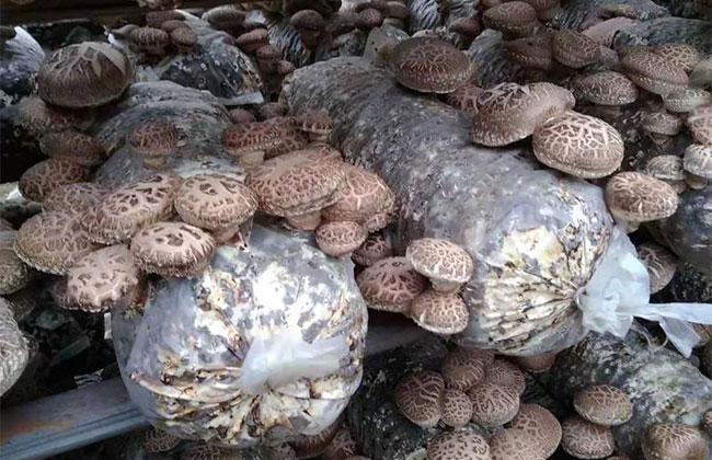 如何种植平菇?最新平菇栽培技术