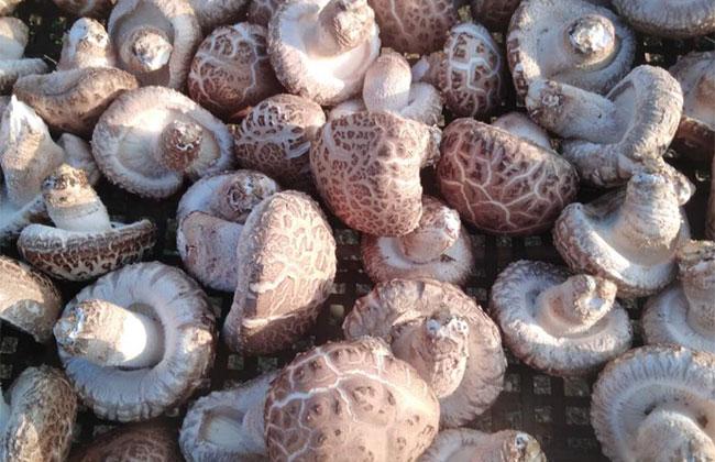 如何种植平菇?最新平菇栽培 技术实现