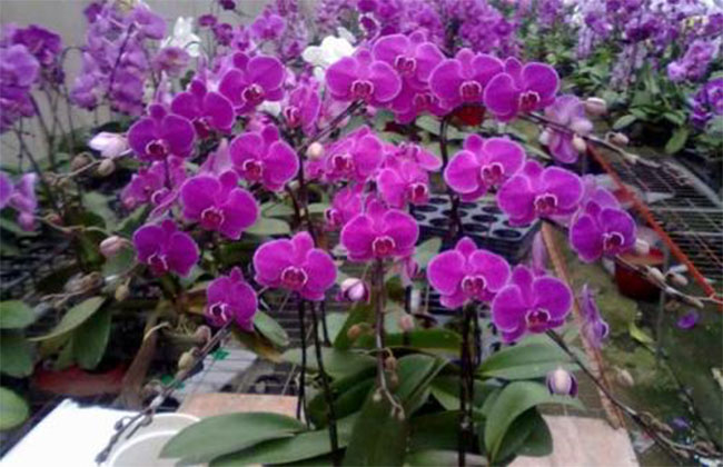 蝴蝶兰花卉多少钱一棵?2020年蝴蝶兰花卉价格最新行情预测