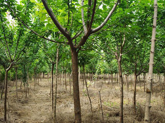 红梅树多少钱一棵?2020年红梅树价格最新行情预测