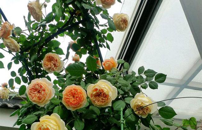月季花怎么种植?月季花栽培和种植方法