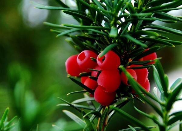 红豆杉的绿化作用,红豆杉行情