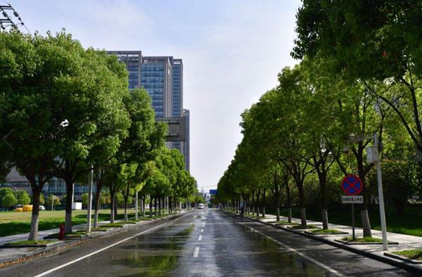 富贵竹有什么作用_行道树有哪些树种?常见行道树树种大全-种植技术-中国花木网