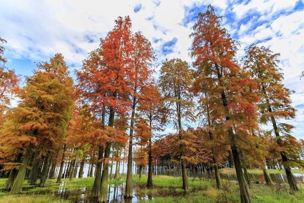 池杉多少钱一棵?2020年池杉价格最新行情预测