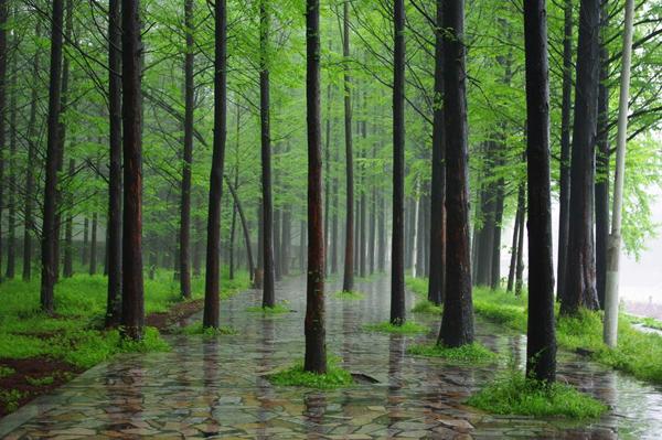 杉木多少钱一棵?2020年杉木价格最新价格