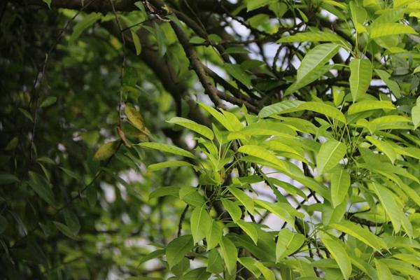 香樟树多少钱一棵?2020年香樟树价格最新价格