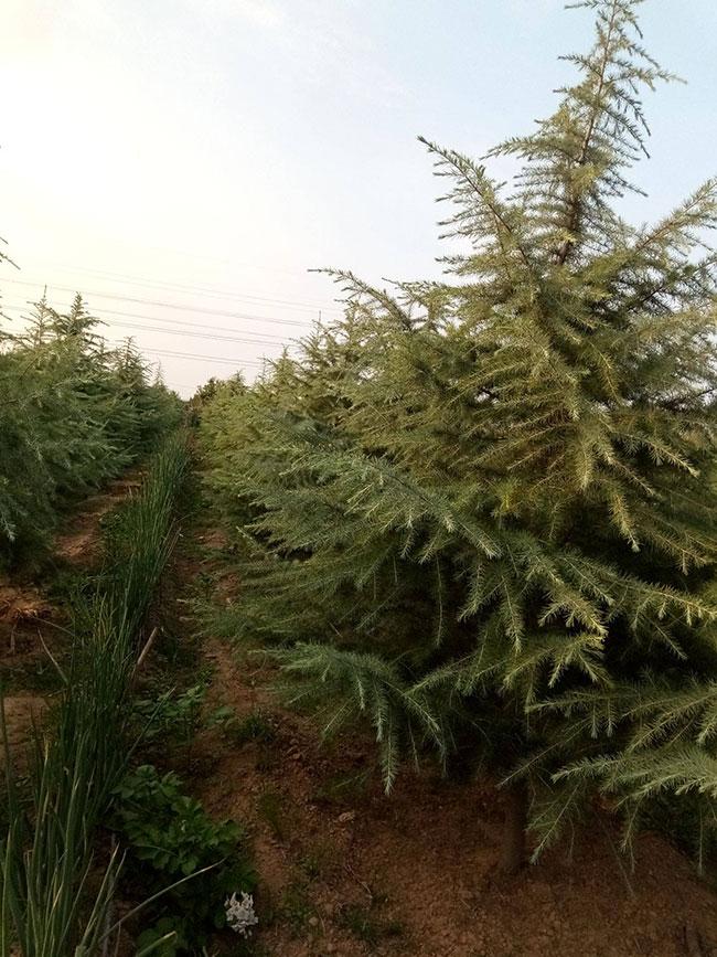 绿化苗木雪松多少钱一棵?2020年绿化苗雪松价格最新价格