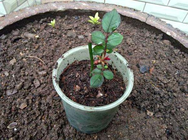 5种花适合3月扦插,一根枝条插下就能活