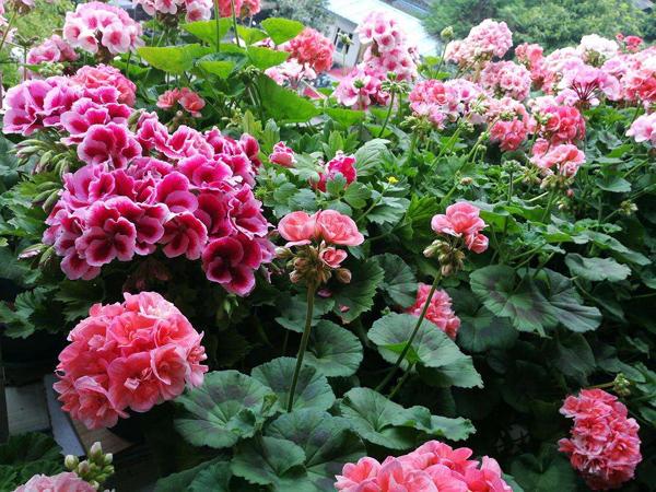 早春播种就选这5种花