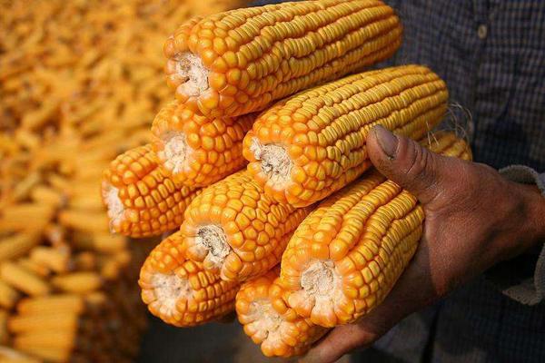 玉米开足马力冲刺价格高峰,本月会有新突破吗?