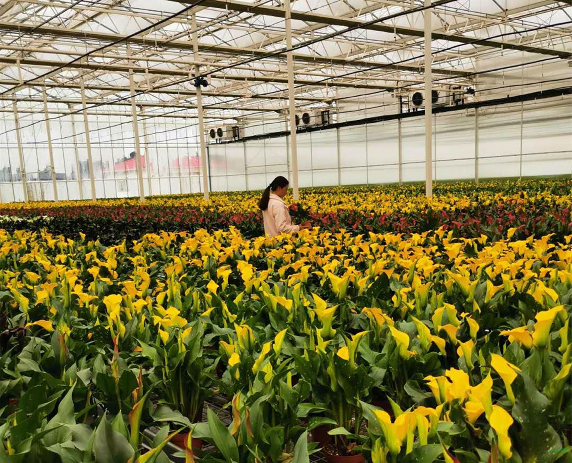 云南砚山:4万盆彩色马蹄莲优质盆花滞销