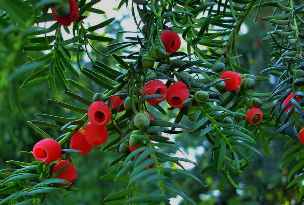 红豆杉价格多少钱一棵?2020红豆杉树苗价格