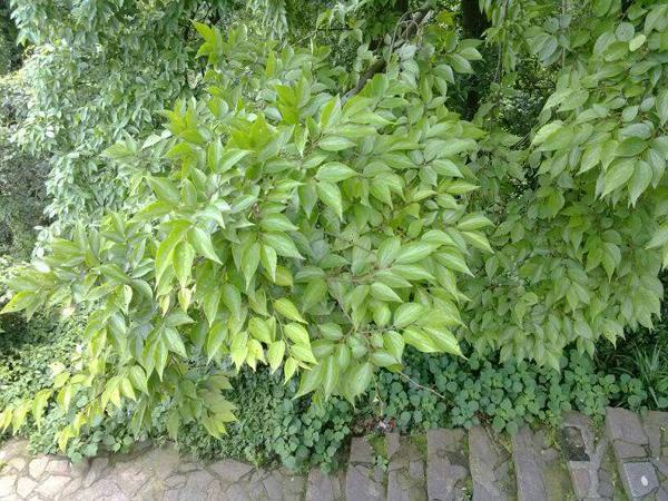 香樟树是什么树?香樟树的作用