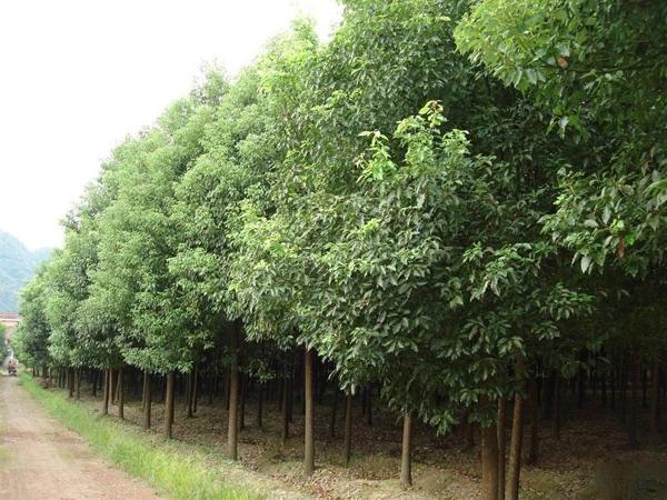 香樟树多少钱一棵?2020年最新香樟价格表