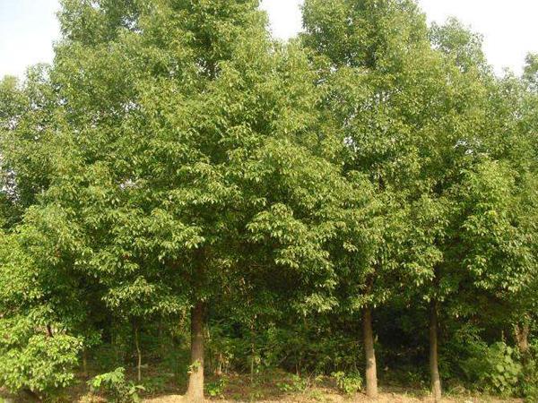 香樟树多少钱一棵?2020年最新香樟树苗木价格