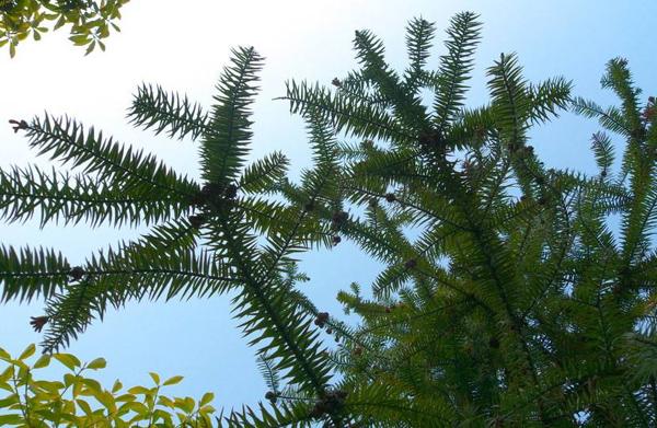 杉树多少钱一棵?2020年杉树苗价格行情
