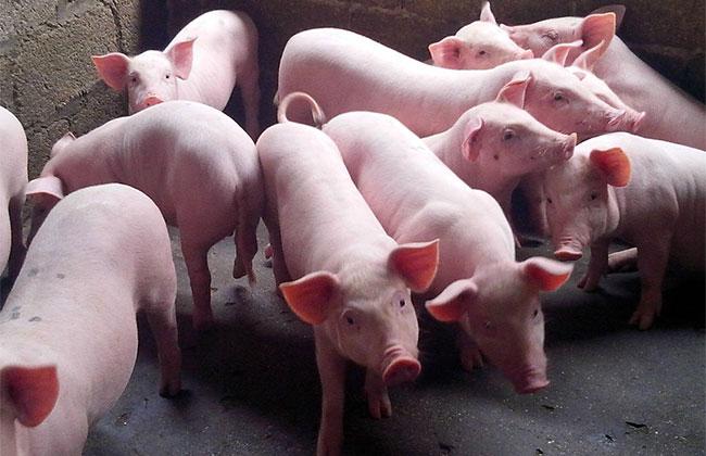 现在养猪赚钱吗?今年养猪利润最高?