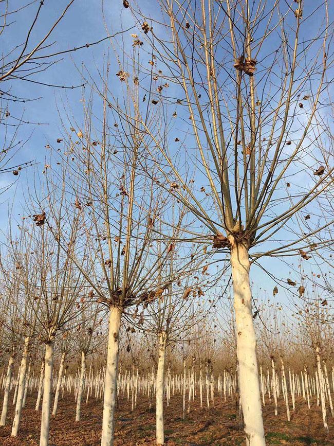 如何种植沉香树_梧桐树一棵多少钱?2020年法国梧桐树价格-花木行情-中国花木网