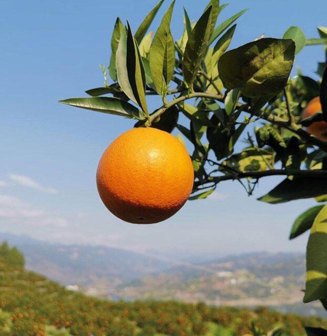 伦晚脐橙树苗多少钱一棵?伦晚脐橙的发展前景