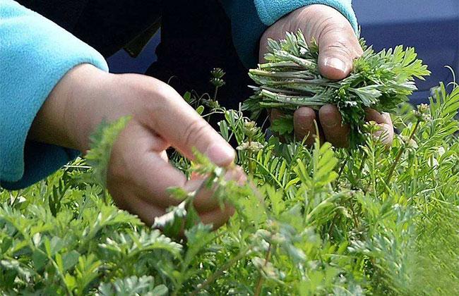野菜怎么摘、怎么吃?看营养专家、植物专家怎么说