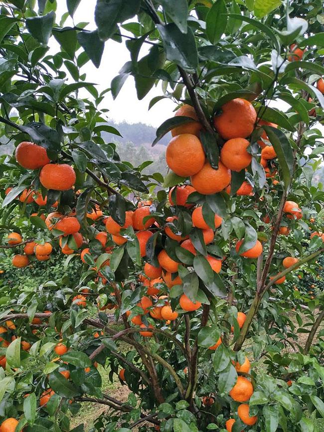 金桔树多少钱一棵?金桔树的养殖方法和注意事项