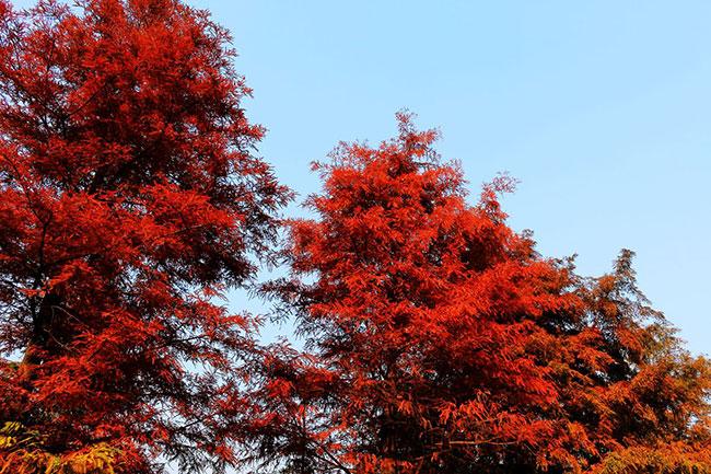 红杉树多少钱一棵?红杉树怎么种植?