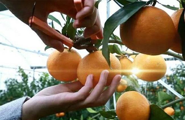 丑桔苗多少钱一棵?丑八怪橘子苗怎么种植?