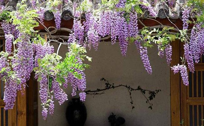 紫藤苗多少钱一棵?紫藤哪个品种最好看?