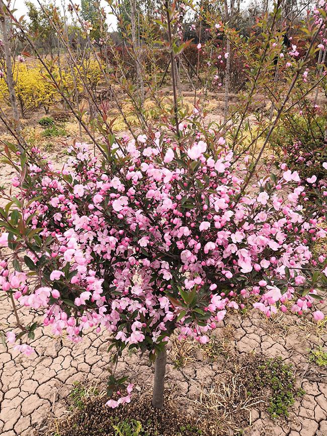 种植北美海棠前景如何?北美海棠有哪些品种?