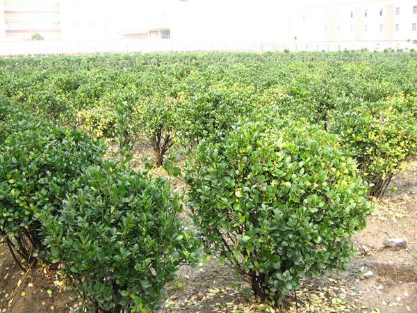 大叶黄杨怎么扦插繁殖?大叶黄杨的种植方法