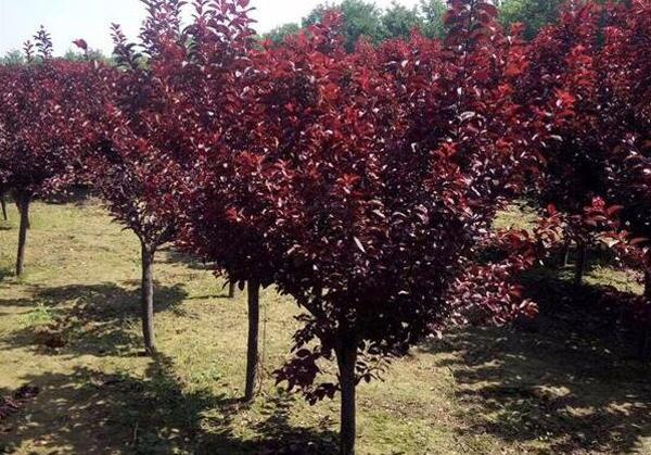 种植红叶李哪个季节好?红叶李种植时间及管理 技术实现