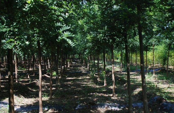 国槐和速生槐哪个好卖?2020年国槐种植前景