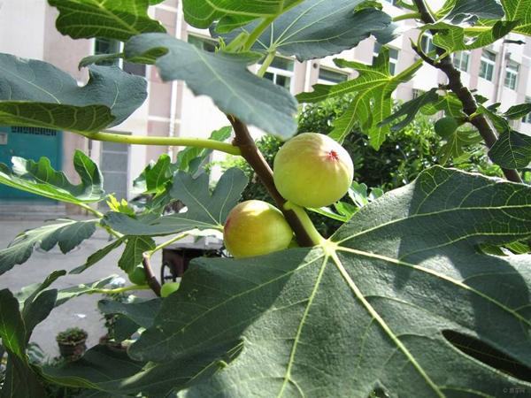 一亩无花果种植成本需要多少?无花果的种植方法