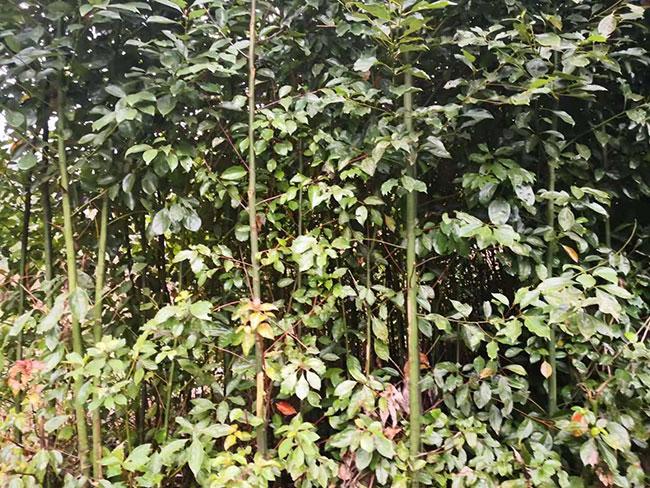 香樟树的原产地是哪里?中国香樟树产地分布