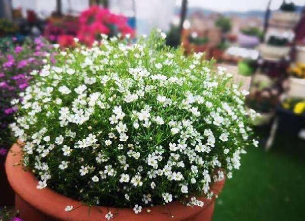 盆栽满天星怎么养?满天星的养殖方法和注意事项