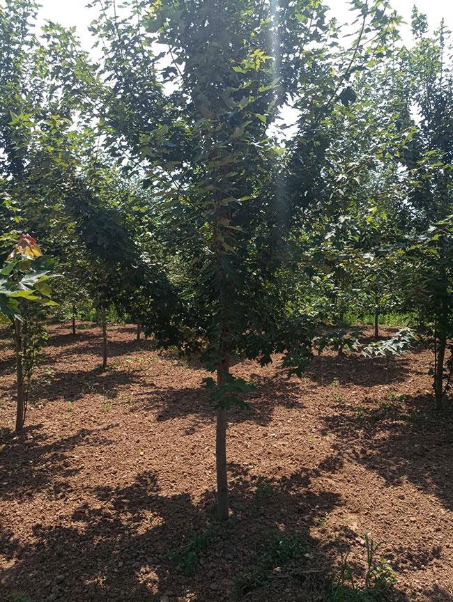 美国红枫如何种植?美国红枫种植 技术实现