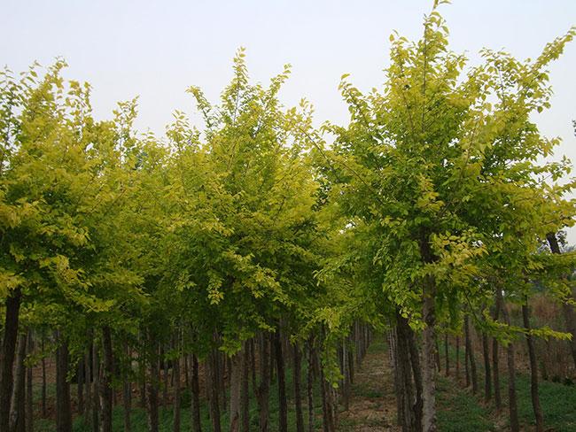 速生榆几年成才?速生榆树种植前景怎么样?