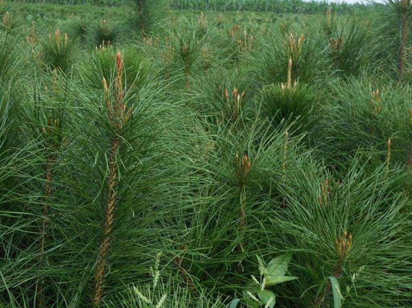 油松种植前景如何?附油松的栽植与养护