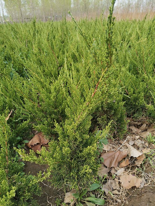 龙柏球种植前景好吗?龙柏树适合种植在哪?