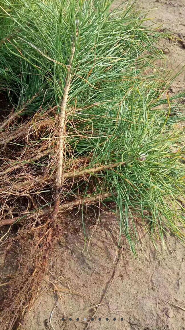 油松种植前景如何?油松种植技术