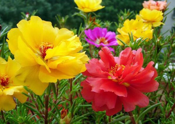 太阳花的花语是什么?太阳花的寓意和象征