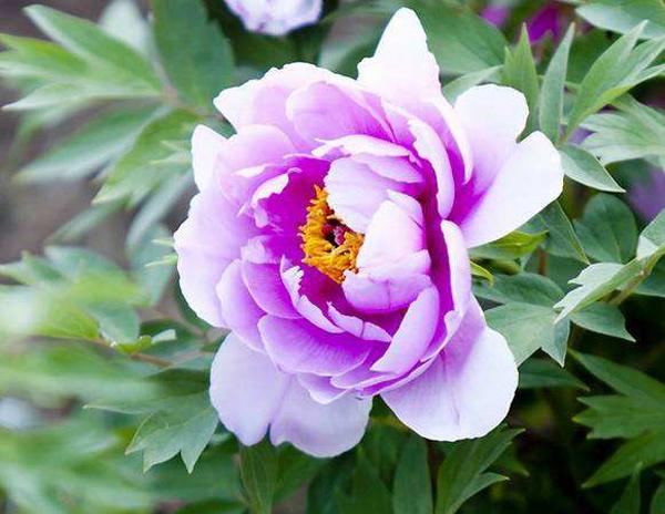 牡丹的花语是什么?牡丹的寓意和象征