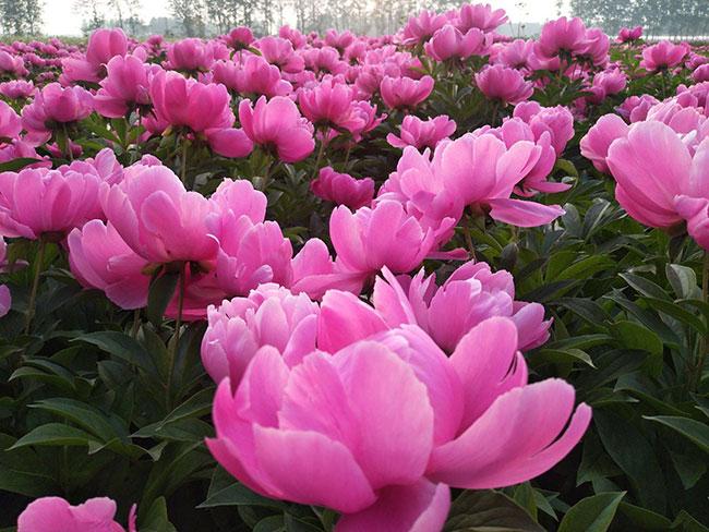 芍药花的花语是什么?芍药花的寓意和象征