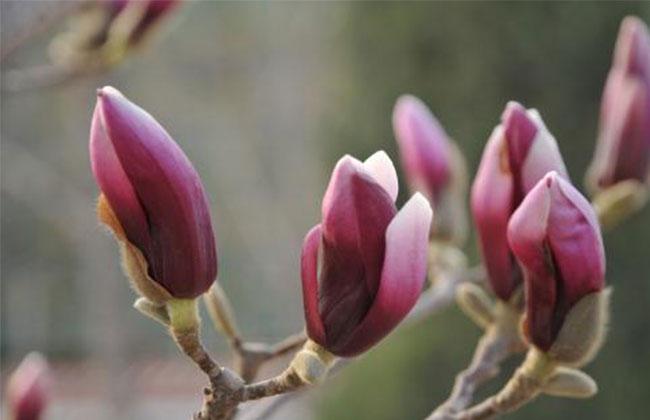 紫玉兰的花语是什么?紫玉兰的寓意和象征