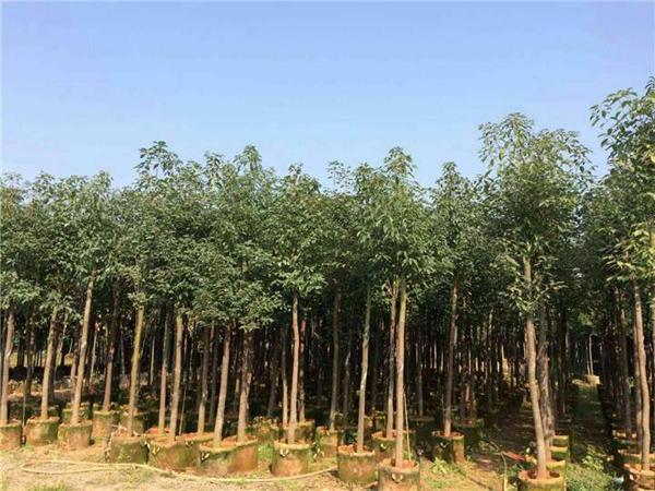 香樟树种植前景如何?香樟树种植效益
