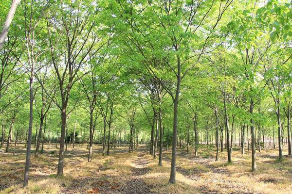 榉树一年能长多少?榉树种植前景好吗?