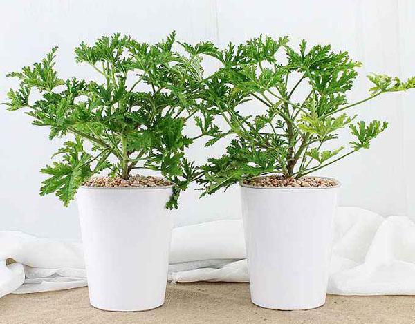 这5种盆栽能驱蚊,家里养两盆蚊子绕道走!